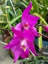 Laelia gouldiana, orchid species flowers, Mexican native orchid, purple flowers, grown outdoors in Pacifica, California