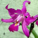 Laelia gouldiana, damaged orchid species flower, bug-eaten flower, Mexican native orchid, purple flower, grown outdoors in Pacifica, California