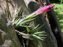 Tillandsia bromeliad in bloom, air plant, bromeliad growing on tree trunk, Carlos Thays Botanical Garden, Jardín Botánico Carlos Thays de la Ciudad Autónoma de Buenos Aires, Argentina