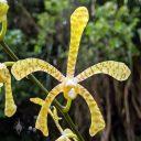 Arachnis Maggie Oei 'Yellow Ribbon', orchid hybrid flower, HortPark-the Gardening Hub, horticulture park, Singapore