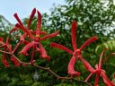 Aranthera Anne Black, orchid hybrid flowers, red flowers, , HortPark-the Gardening Hub, horticulture park, Singapore