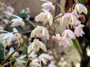 Dendrobium x delicatum, orchid hybrid flowers, grown outdoors in Pacifica, California