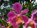 Papilionanda Andrea Bocelli, Vanda orchid hybrid flower, Singapore National Orchid Garden located in Singapore Botanic Gardens