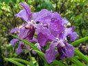 Papilionanda Ernest Chew, Vanda orchid hybrid flowers, purple flowers, Singapore National Orchid Garden located in Singapore Botanic Gardens