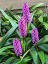 Arpophyllum giganteum, Giant Hyacinth Orchid, clusters of small purple flowers with long green leaves, grown outdoors in Pacifica, California