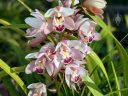 Cymbidium flowers, orchid hybrid flowers, white pink yellow and red flowers, grown outdoors in Pacifica, California