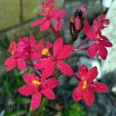 Epidendrum flowers, orchid flowers and buds, red and yellow flowers, grown outdoors in Pacifica, California