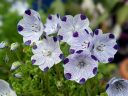 Fivespot, Nemophila maculata, California native, annual flower species, white flowers petals with purple spots and purple veining, grown outdoors in Pacifica, California