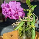 (Vanda Prayad Muang Ratch x Ascocenda Lena Kamolphan) x Vanda Srakaew, vanda hybrid orchid flowers, leaves and roots in a glass vase, purple flowers and green leaves, grown indoors in Pacifica, California