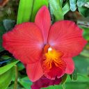Cattleya orchid flower, Pacific Orchid Expo 2020, Golden Gate Park, San Francisco, California