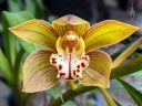 Cymbidium Green Zenith 4N x Tracyanum 4N, orchid hybrid flower, gold maroon and white flower, grown outdoors in Pacifica, California