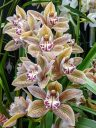 Cymbidium Green Zenith x tracyanum, orchid hybrid flowers, Pacific Orchid Expo 2020, Golden Gate Park, San Francisco, California