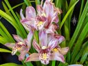 Cymbidium Mainstem Hip Hop 'Star Stripes', orchid hybrid flowers and leaves, Pacific Orchid Expo 2020, Golden Gate Park, San Francisco, California