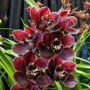 Cymbidium orchid, orchid hybrid flowers, deep maroon flowers, Pacific Orchid Expo 2020, Golden Gate Park, San Francisco, California