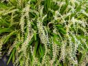 Dendrochilum curranii, Chain Orchid, orchid species flowers and leaves, tiny white flowers, Pacific Orchid Expo 2020, Golden Gate Park, San Francisco, California