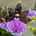 Zygopetalum BG White 'Stonehurst', Zygo, orchid hybrid flower, purple green and white flower, grown outdoors in Pacifica, California