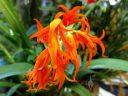 Brassia aurantiaca, AKA Ada aurantiaca, orchid species flowers, orange flowers, Pacific Orchid Expo 2018, San Francisco, California