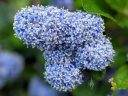 Ceanothus flowers, California Lilac, buckbrush, soap bush, blue flowers, growing outdoors in Pacifica, California