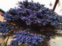 Large Ceanothus shrub, California Lilac, buckbrush, soap bush, blue flowers, growing outdoors in Pacifica, California