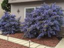 Two large Ceanothus shrubs growing in front of a house, California Lilac, buckbrush, soap bush, blue flowers, growing outdoors in Pacifica, California
