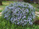 Ceanothus shrub in bloom, California Lilac, buckbrush, soap bush, blue flowers, growing outdoors in Pacifica, California