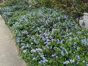 Low-growing Ceanothus shrubs in bloom along a sidewalk, California Lilac, buckbrush, soap bush, blue flowers, growing outdoors in Pacifica, California