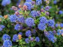 Ceanothus flowers buds and leaves, California Lilac, buckbrush, soap bush, blue flowers, growing outdoors in Pacifica, California