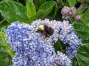 Ceanothus flowers with bee, California Lilac, buckbrush, soap bush, blue flowers, growing outdoors in Pacifica, California