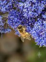 Ceanothus flowers with honeybee, California Lilac, buckbrush, soap bush, blue flowers, growing outdoors in Pacifica, California