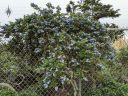 Ceanothus plant growing over chain link fence, California Lilac, buckbrush, soap bush, blue flowers, growing outdoors in Daly City, California
