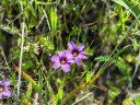 Blue Eyed Grass flowers, Sisyrinchium, native California wildflowers, Mori Point, Pacifica, Golden Gate National Recreation Area, GGNRA, Northern California