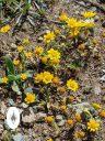 California Goldfields, Lasthenia californica, native California wildflowers, Pacifica, Golden Gate National Recreation Area, GGNRA, Northern California