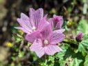 Checkerblooms, native California wildflowers, Sidalcea malviflora, Mori Point, Pacifica, Golden Gate National Recreation Area, GGNRA, Northern California