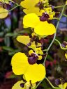Oncidium Alosuka 'Claire', orchid hybrid flowers, Dancing Lady Orchids, yellow and reddish brown flowers, Orchids in the Park 2019, Golden Gate Park, San Francisco California