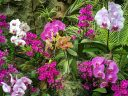 Phalaenopsis, Phal, Moth Orchid hybrids in different colors and sizes, Cloud Forest Conservatory, Gardens by the Bay nature park, Singapore
