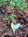 Aplectrum hyemale, Putty Root Orchid, Adam and Eve Plant, North American native orchid species, variegated leaves with flowers, growing wild in Virginia among brown fallen leaves in spring