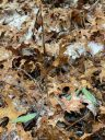 Aplectrum hyemale, Putty Root Orchid, Adam and Eve Plant, North American native orchid species, variegated leaves and seedpods covered in ice, pin-striped leaves with alternating silvery-white and green stripes, growing wild in Virginia among brown fallen leaves in December