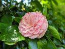 Camellia flower, red white and pink flower, Japanese Tea Garden, Golden Gate Park, San Francisco, California