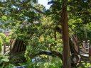 Drum Bridge viewed behind tree, semicircular wooden bridge, Japanese Tea Garden, Golden Gate Park, San Francisco, California