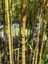 Bamboo, Japanese Tea Garden, Golden Gate Park, San Francisco, California
