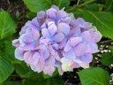 Hydrangea flowers and leaves, Japanese Tea Garden, Golden Gate Park, San Francisco, California