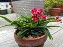 Sarcochilus Kulnura Spice x Fairy, orchid hybrid flowers buds and leaves, red flowers with red and white lip, miniature orchid, grown outdoors in clay pot in Pacifica, California