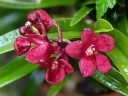 Sarcochilus Kulnura Spice x Fairy, orchid hybrid flowers buds and leaves with water drops, red flowers with red and white lip, miniature orchid, grown outdoors in Pacifica, California