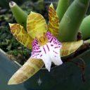 Trichopilia sanguinolenta, Helcia sanguinolenta, orchid species flower, grown indoors in San Francisco, California