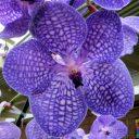 Vanda Sansai Blue, orchid hybrid flower, blue and white flower, Orchids in the Park 2016, Golden Gate Park, San Francisco, California